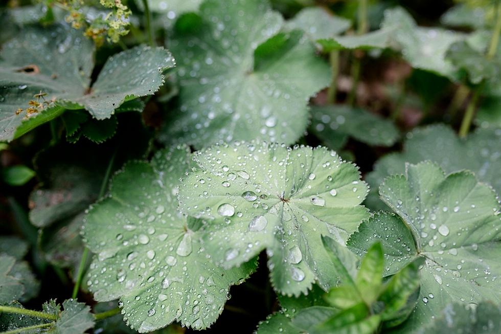 Regentropfen auf Blättern, Regentropfen, Heiraten im Haverbeckhof Bispingen - Jana Richter fotografie-1.jpg