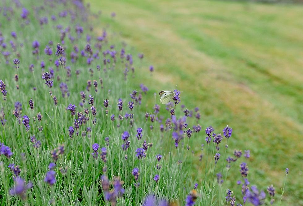 Lavendel, Schmetterling auf Lavendel, Heiraten im Haverbeckhof Bispingen - Jana Richter fotografie-15.jpg